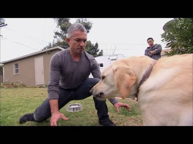 Hundeflüsterer Cesar Millan im erfolgreichen Youtube-Video: «Showdown with Holly»