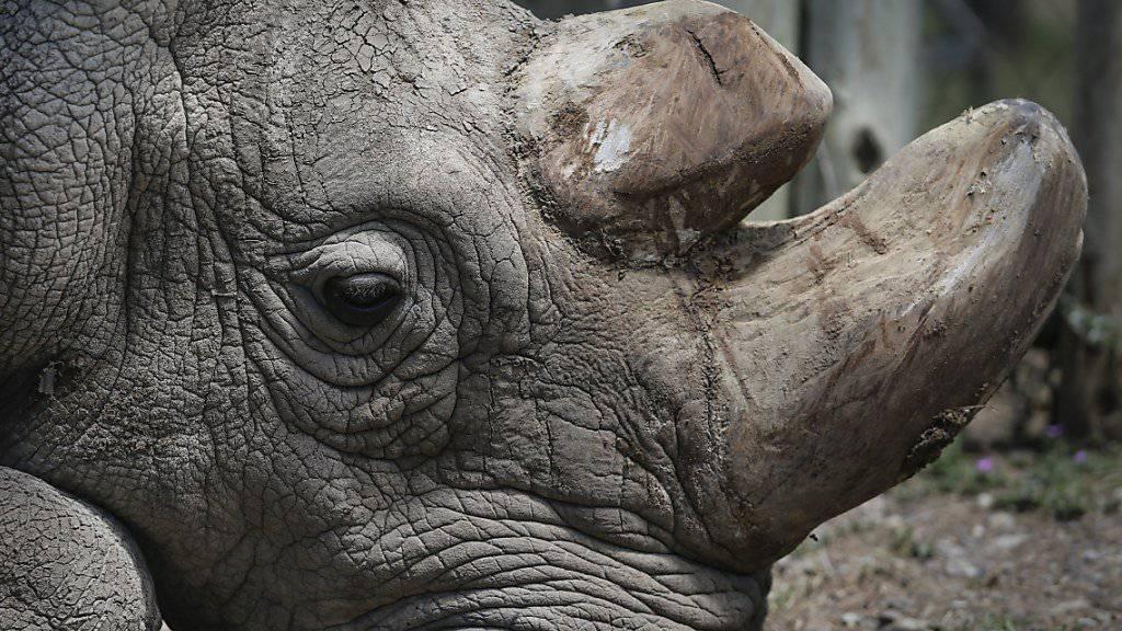 Sudan, das letzte männliche Nördliche Breitmaulnashorn, ist im März gestorben. Nun gab es eine Abschiedsfeier für das Tier. (Archiv)