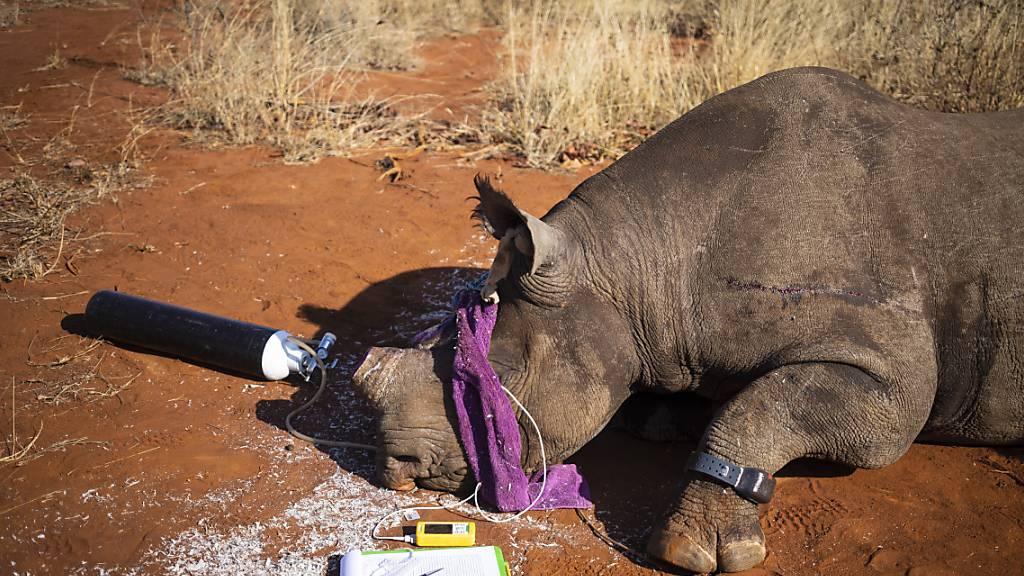 Nashörner sollen mit Hilfe radioaktiver Substanzen, die in das Horn gespritzt werden, besser vor Wilderern geschützt werden. Dank der Substanzen können die Hörner leichter entdeckt werden. (Archivbild)