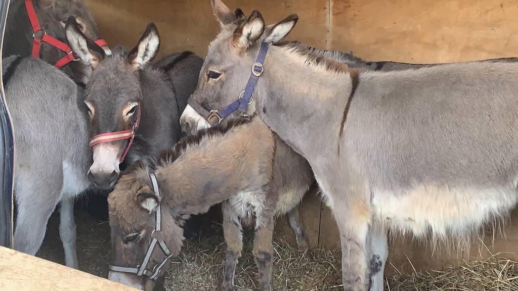 Rheinfelden: Grenzwache erwischt sechs geschmuggelte Esel in Lieferwagen