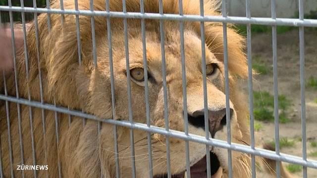 Löwen-Experte äussert sich zu Wildtieren im Gazastreifen