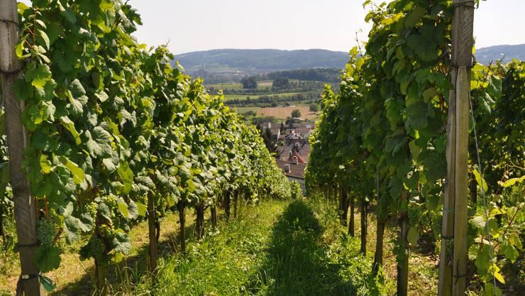 Das Weinbauzentrum in Wädenswil forscht nach neuen Pilzwiderstandsfähigen Weinsorten und Schutzmitteln.