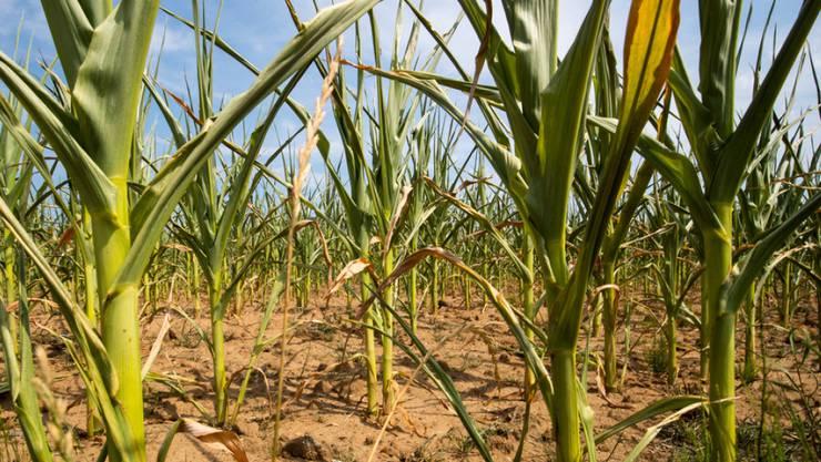 Durch die Dürre beschädigte Maispflanzen.