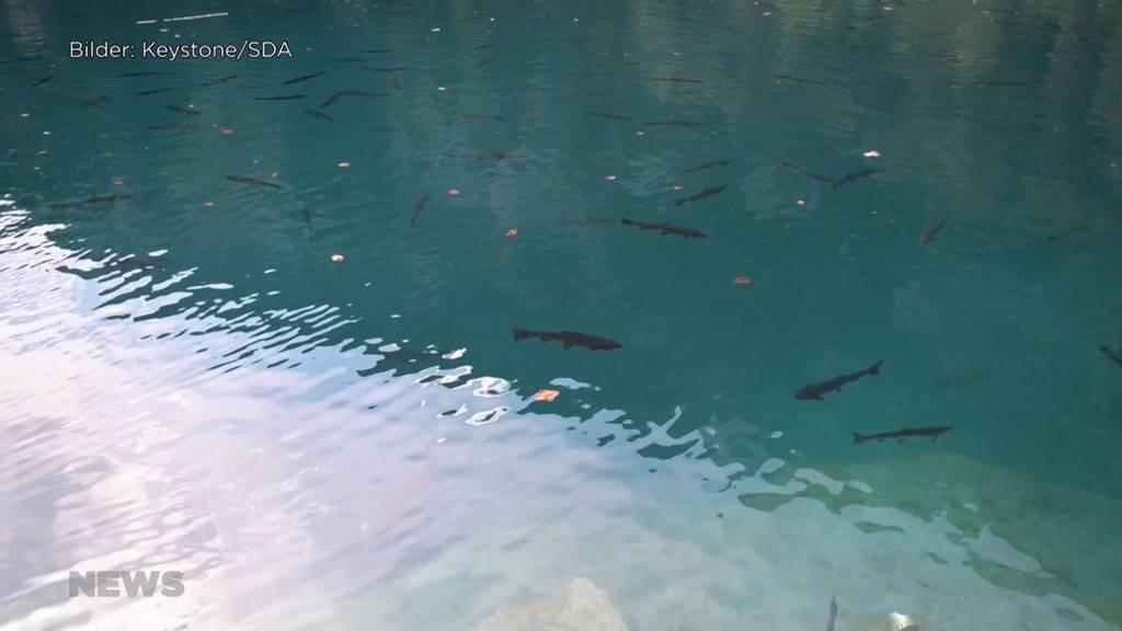 Suche nach den Schuldigen: Im Blausee verenden tausende Fische