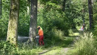 paziergang von Wald beider Basel im Hardwald zum Thema Hitzesommer 2018 in der Birsfelder Hard. Jetzt werden die im letzten Sommer geschädigten Bäume sichtbar, weil sie am Absterben oder bereits abgestorben sind. Mit vorsichtigen Fällungen der Bäume soll die Sicherheit der Waldbesucher, die momentan wegen einer Teilsperrung nicht in den Wald dürfen, wieder gewährleistet werden.