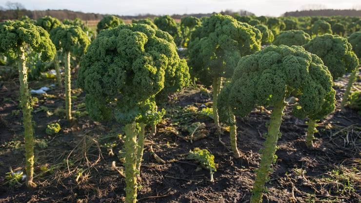 Federkohl aka Grünkohl aka «Kale»
