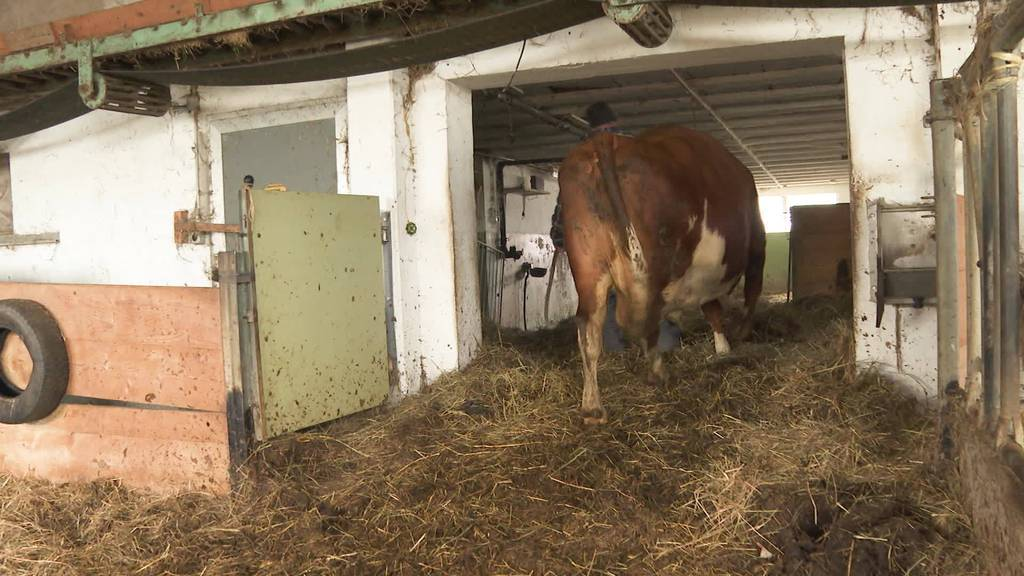 Viva la Vacca: Eli kommt neu in das Kuh-Altersheim