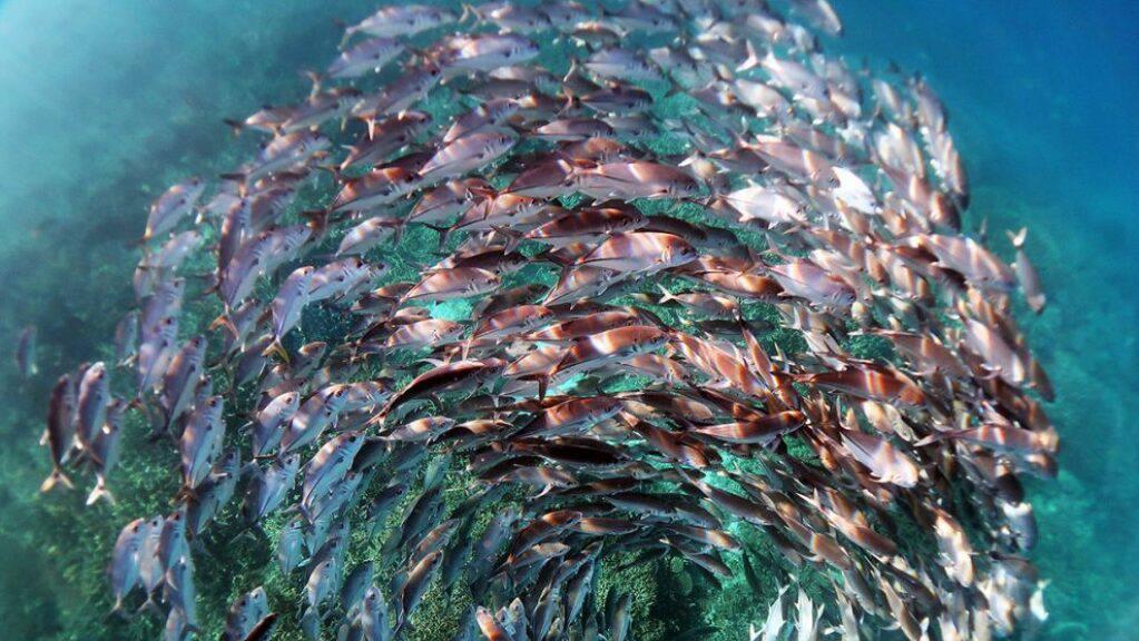 Mit diesem Bild eines Fischschwarms im Great Barrier Reef hat die Wissenschaftlerin Kristen Brown einen Fotowettbewerb gewonnen (Pressebild).