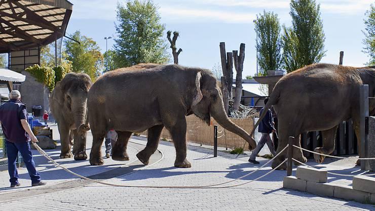 Die vier letzten dänischen Zirkus-Elefanten werden von der dänischen Regierung aufgekauft und in den Ruhestand geschickt. Nach Angaben eines dänischen Ministeriums zahlt der Staat umgerechnet 1,6 Millionen Franken für Ramboline, Lara, Djunga und Jenny. (Symbolbild)