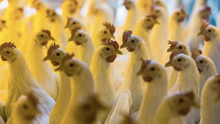Legehennen in Bodenhaltung im Hühnerstall eines Bauernhofs. Nur wenige Hennen finden nach einer Saison einen neuen Platz zum Weiterleben. Bild: Gaëtan Bally/Keystone