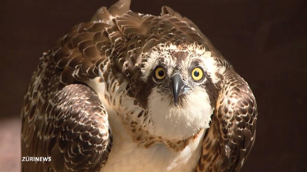 Mutiger Retter bewahrt Fischadler vor dem Ertrinken