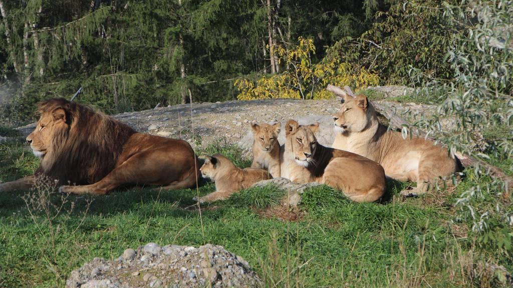 Löwennachwuchs: (Fast) eine harmonische Familie