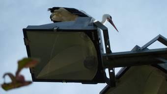 """Störche auf der Durchreise machen Zwischenhalt in Aeschi (27.8.2020). """"Die Coronababys sind unterwegs"""""""