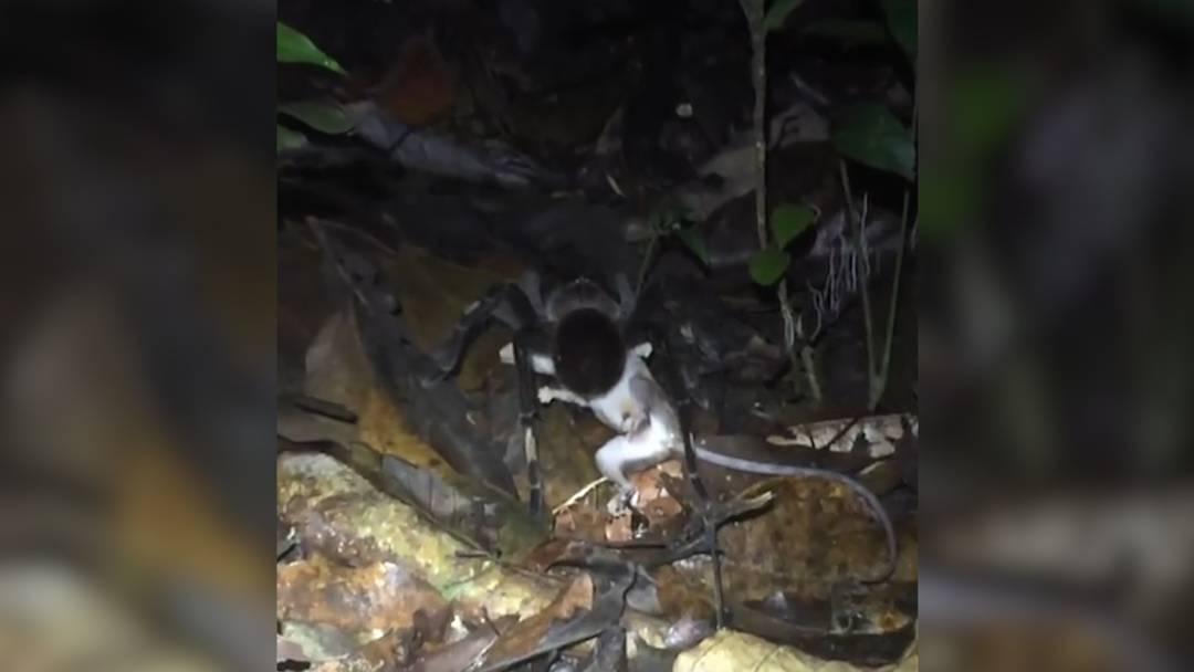 Unglaublich: Tellergrosse Vogelspinne frisst Opossum