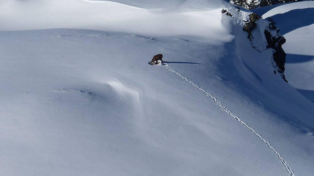 Der Kanton St. Gallen gibt Tipps für einen respektvollen Umgang mit Wildtieren, die im Winter viel Ruhe brauchen. (Archivbild)