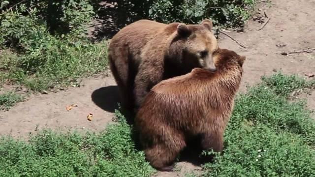 Bärenhochzeit in Bulgarien