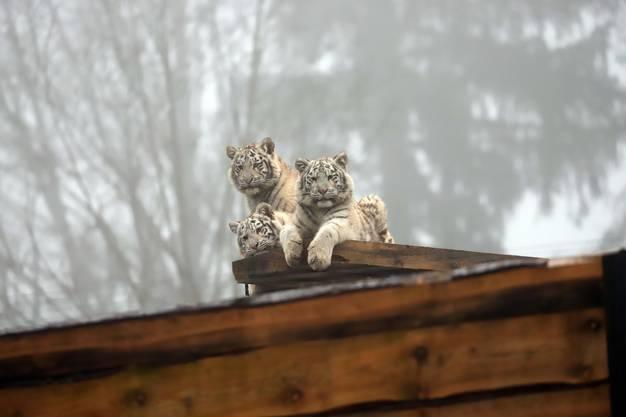 Die drei kleinen Raubkatzen mögen die Aussciht