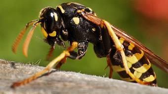Diesen Sommer schwirren viele Wespen umher.
