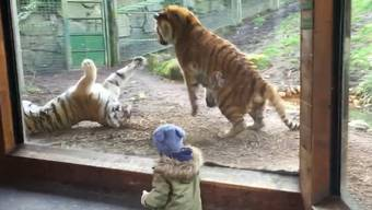 Dicke Luft: In Dublin bekamen die Zoo-Besucher kürzlich einen Tiger-Kampf zu sehen.