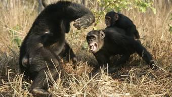 Schimpansen sind uns nahe verwandt, aber kämpfen viel lieber und sind aggressiver als wir. (Bild: imago images