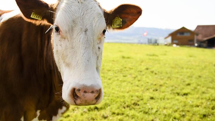 Eine Kuh alleine auf weiter Flur: Seit mehreren Jahren nimmt die Anzahl der Milchkühe auf den Schweizer Wiesen ab. (Symbolbild)