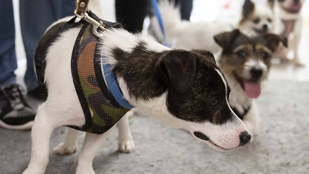 Abgegeben, ausgesetzt oder beschlagnahmt: Die Zahl der Hunde in Schweizer Tierheimen hat sich im vergangenen Jahr erhöht - auch wegen des härteren Durchgreifens der Behörden. (Symbolbild)