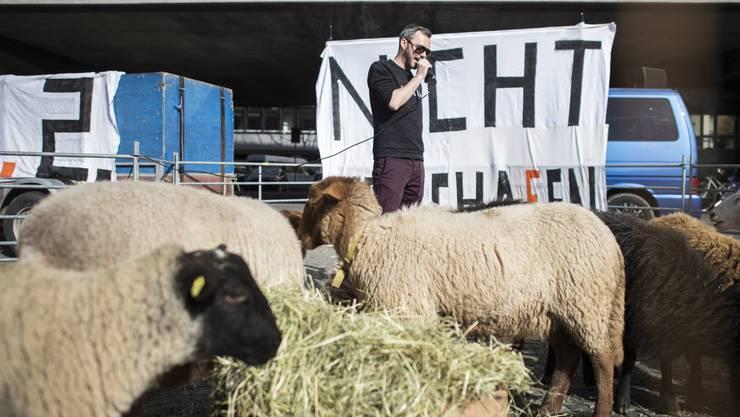 Schafe auf dem Helvetiaplatz - mal was anderes.