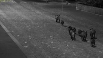 Gemütlich spazieren die Wildschweine in die Altstadt hinein, zurück gehts nur wenig später im gestreckten Galopp – hat sie etwa das Schaufenster der Metzgerei Speck derart in Panik versetzt?