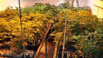 Die Entdeckung der Hanfplantage brachte den Bezirksamtmann in Bedrängnis.