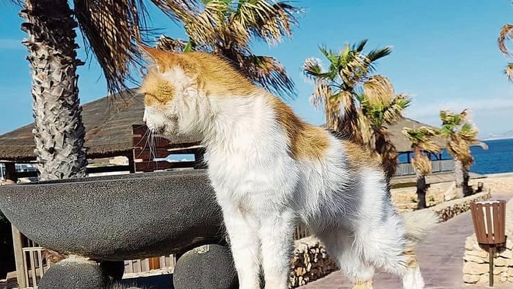 Dieser Hotelkater auf Malta lebt sonst von Essensresten, die ihm Touristen zukommen lassen.
