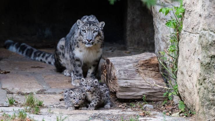 Bei den Schneeleoparden im Basler Zoo hat es Nachwuchs gegeben.
