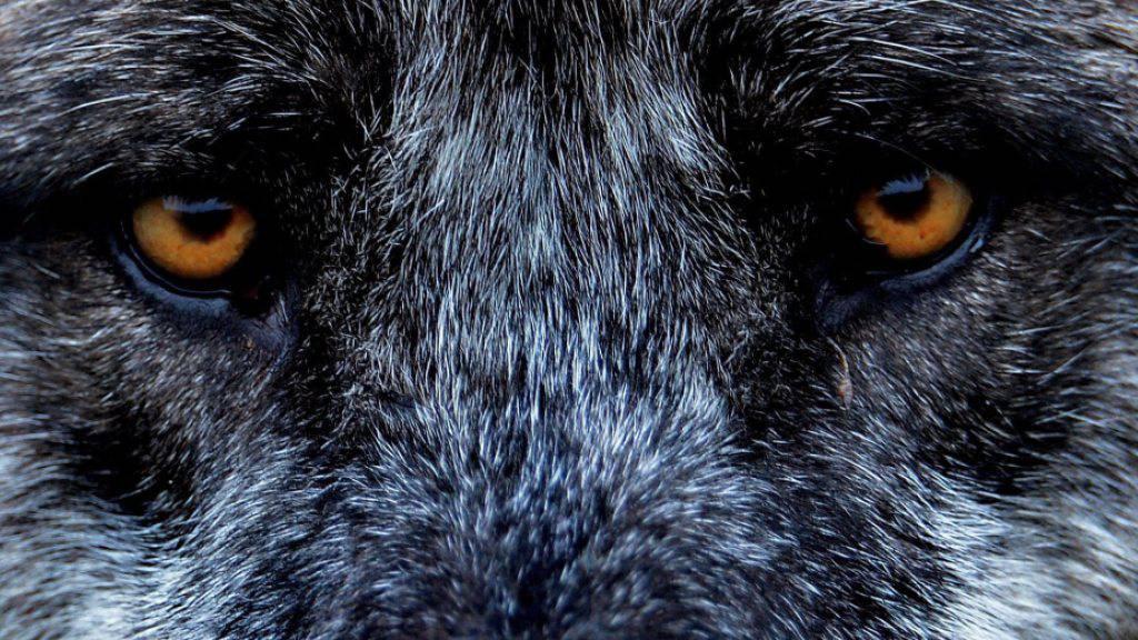 Bündner Regierung macht Werbung für revidiertes Jagdgesetz