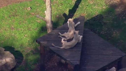 Zoopflegerin bei Löwenattacke schwer verletzt