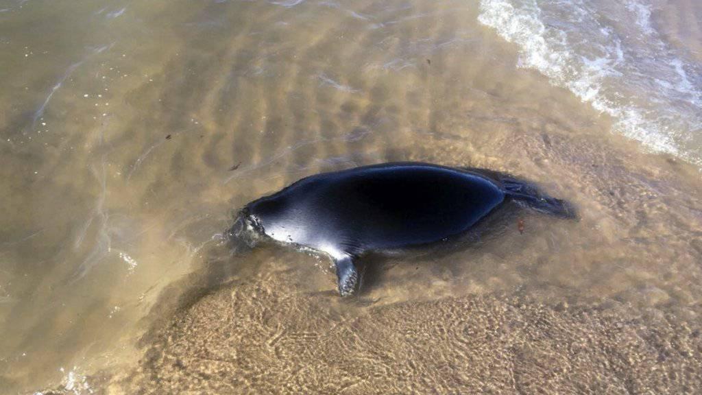 Dutzende Robben wurden in den letzten Tagen an die Küsten des Baikalsees geschwemmt.