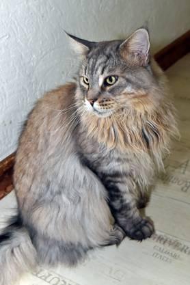 Elf erwachsene Katzen leben bei der Katzenzüchterin in Lostorf. Hier nochmals: Avenger.