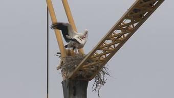 Sehr zur Freude der Anwohner: Ein Storchenpaar nistet auf dem grössten Kran in Kaiseraugst. Die Verantwortlichen wollen ihnen den Platz belassen.