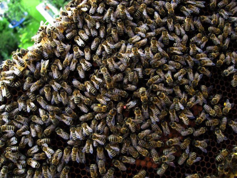 Wo ist die Bienenkönigin?