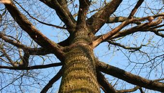 Bei Holzfällarbeiten selbst vom Baum gefallen
