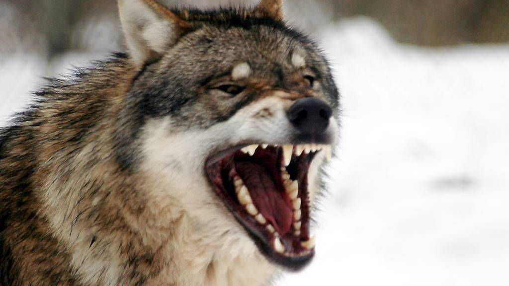 Wolf oder Luchs reisst zwei Schafe in Vorderthal SZ