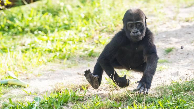 Die unangefochtene Nummer 1 unter den Zolli-Tieren: Die Gorillas (mit 31 Mitteilungen seit 2006).