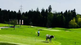 Das Rind büxte aus und trampelte über den Golfplatz in Neuenkirch.