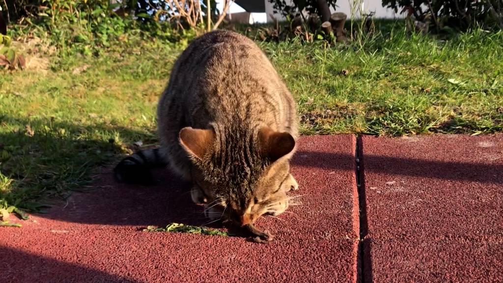 Hauskatzen bedrohen Wildtiere – Die Stadt will dagegen vorgehen
