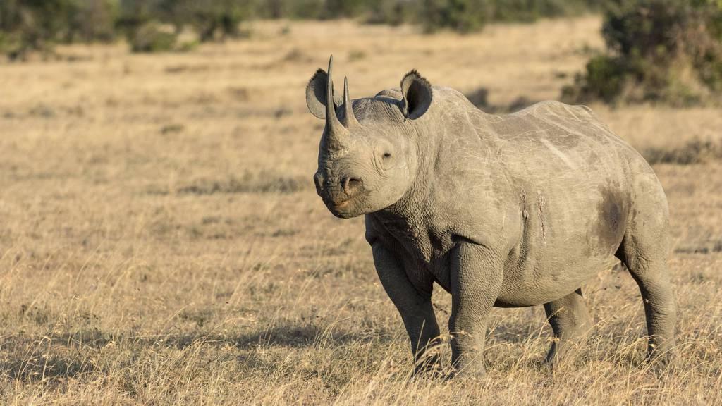 Nashörner sind aufgrund ihrer Hörner, die eine heilende Wirkung haben sollen, bei Wilderern sehr beliebt.