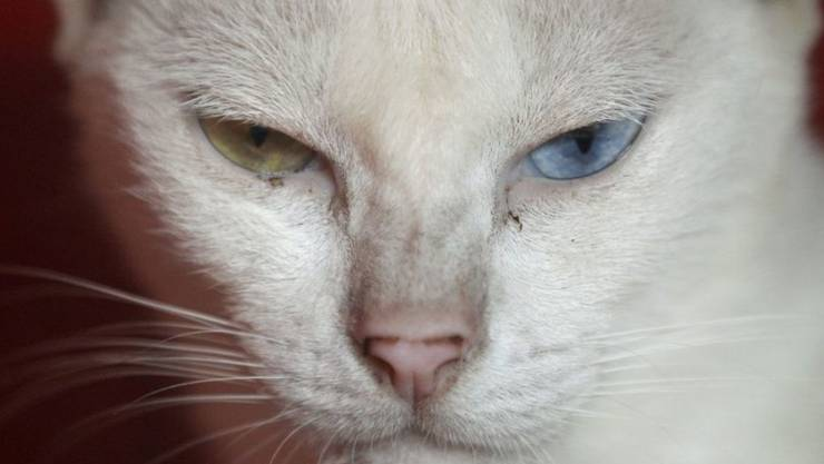 Hauskatzen betrachten ihre Besitzer als Dienstleistungsbetrieb und entwickeln keine enge Bindung zu Menschen, heisst es. Falsch gedacht. Neue Studien legen nahe, dass der Stubentiger unter Herzschmerz leidet, wenn sein Zweibeiner abwesend ist. (Archivbild)