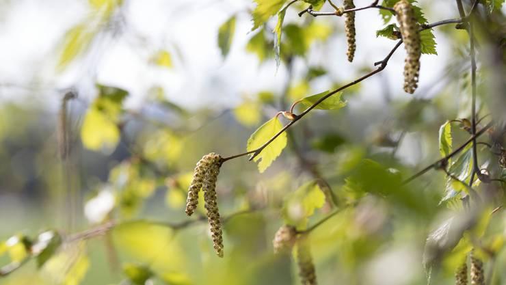 Die Birke blüht und macht Allergikerinnen und Allergikern das Atmen schwer.