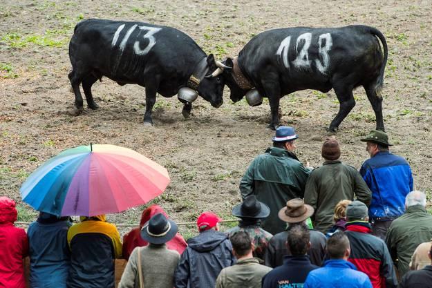 Der Regen, der in der Nacht und am frühen Morgen gefallen war, beeinträchtigte das Terrain - das speziell für die Kuhkämpfe präpariert worden war - jedoch nicht.
