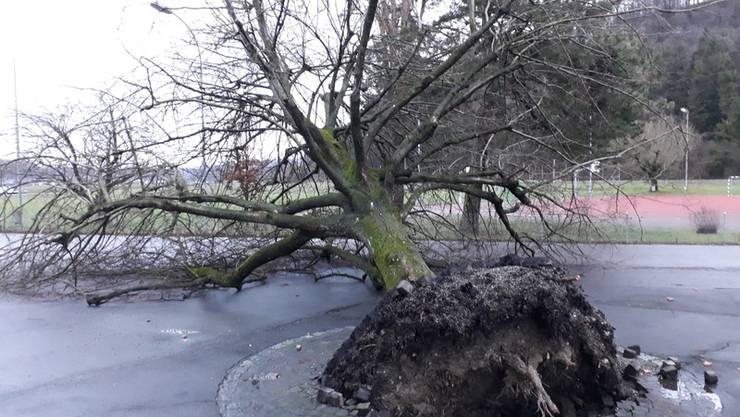 Die mächtige Linde beim Schulhaus in Full im Bezirk Zurzach gab dem Sturmtief im Januar 2018 nach.