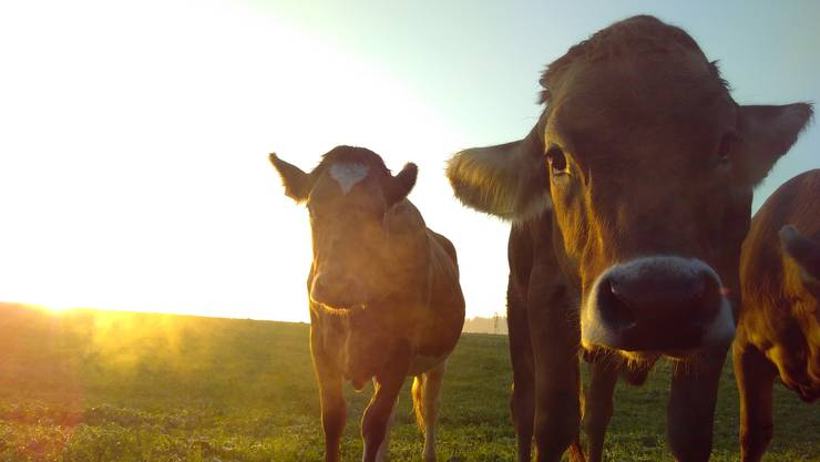 Auf dem Lindenberg zwischen Sarmenstorf und Uezwil geniessen die neugierigen Rinder die frühe Morgensonne.