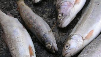 Ein parasitärer Pilz, der im Doubs schwere Fischsterben ausgelöst hat, ist auch in der Birs aufgetaucht.