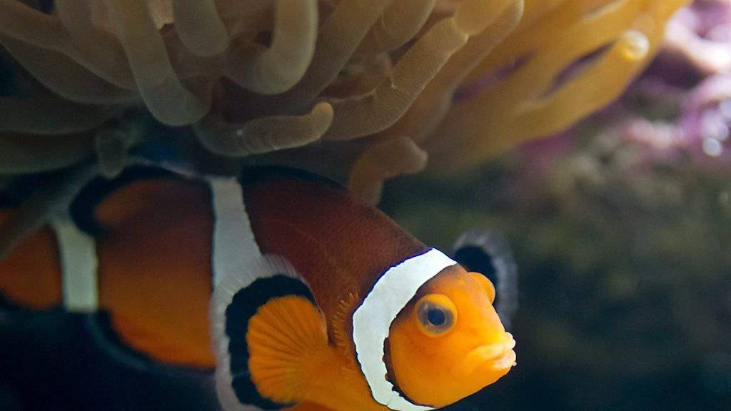 Licht stört Clownfische beim Schlüpfen
